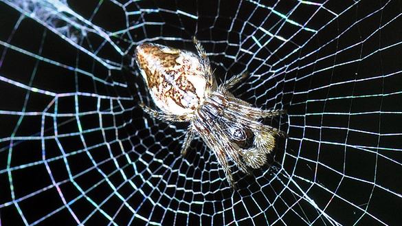 Conical trashline orbweaver