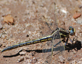 Female dusky clubtail, Photo: Jerry Oldenettel