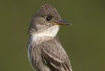 eastern wood-pewee_Glenn_Bartley_thumbnail