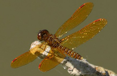 eastern_amberwing_dragonfly_Milne_Reservoir_Markham_26_7_2015_Noah_Cole_3