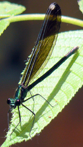 Female ebony jewelwing, Photo: Benny Mazur