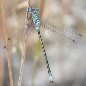 Male emerald spreadwing, Photo: Mathesont