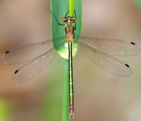 Female emerald spreadwing, Photo: sankax