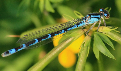 Female familiar bluet, Photo: Gary Yankech