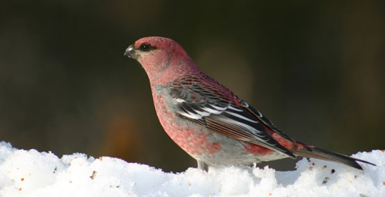 Pine grosbeak by Peter Ferguson