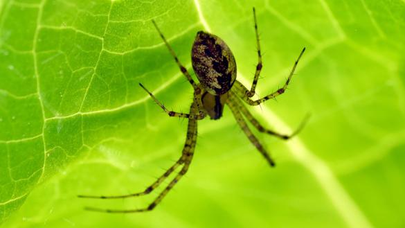 Hammock spider