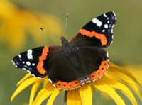 Red admiral - istockphoto.com