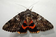 ilia_underwing_moth_credit_attribute_sharealike_johnx12_v2