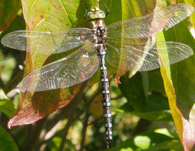 Male lance-tipped darner, Photo: Chris Earley