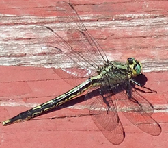 Female lilypad clubtail, Photo: Stylurus