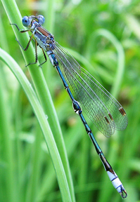 Male lyre-tipped spreadwing, Photo: pointytilly