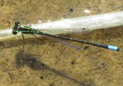 male eastern forktail_chris_earley