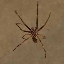 Bridge orbweaver, Credit: Tab Tannery CC BY-NC-SA 2.0