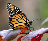 Monarch by Robert J. Beyers II