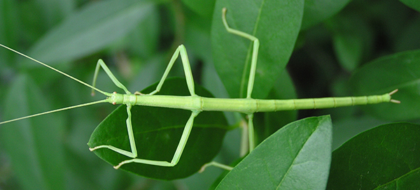 Northern walkingstick insect