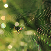 Longjawed orbweaver web, credit: Kenneth Cole Schneider
