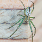 orchard_spider_John_Reaume_button