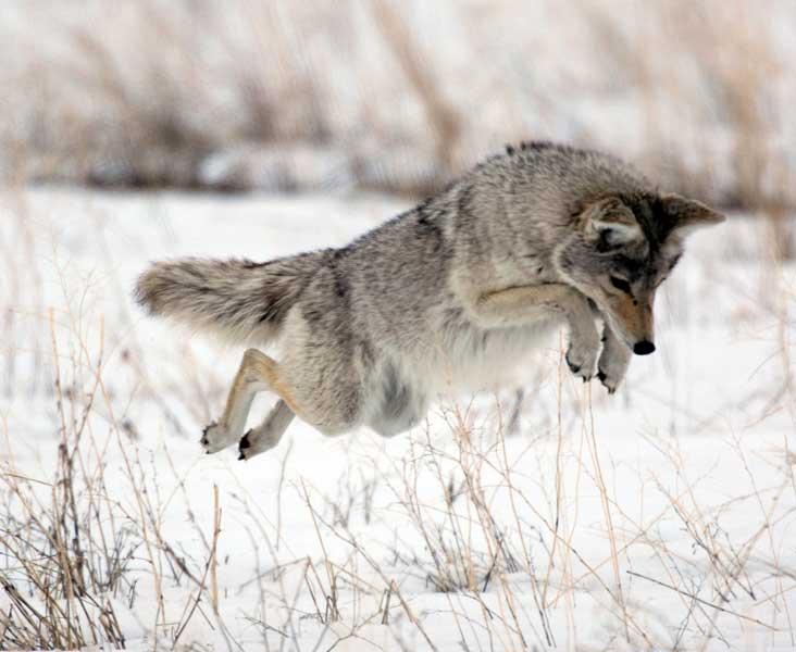 "Letters – Re: ""Coyotes' bad rap"""