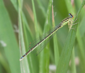 Female rainbow bluet, Photo: Jason Forbes