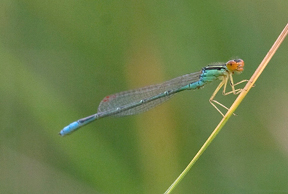 Male rainbow bluet, Photo: Jason Forbes