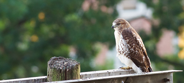 Urban red-tailed hawk