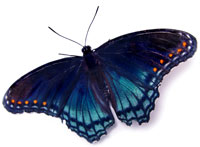 Red-spotted purple by Bob Ainsworth