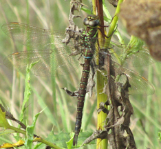 Female shadow darner, Photo: Chris Earley