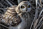 short-eared owl shutterstock_2679864_Terry_Alexander_thumbnail