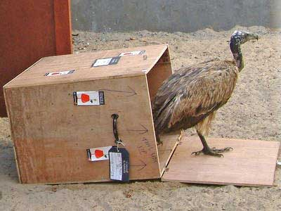 Slender-billed vulture in captive-breeding program, <a href=