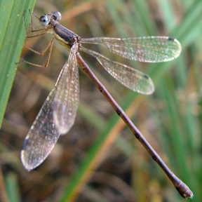 Female slender spreadwing, Photo: Benny Mazur