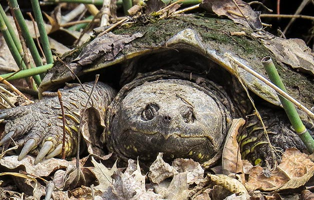 snapping turtle, Jason King