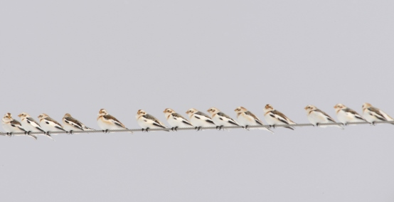 Birds (snow buntings) on a wire.