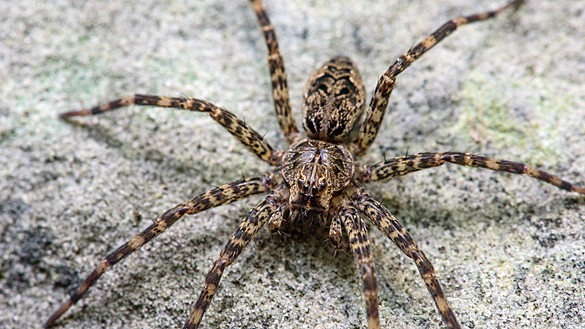 Striped fishing spider