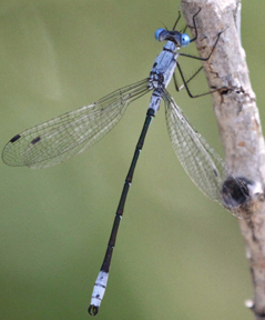 Male sweetflag spreadwing, Photo: Bob Danley