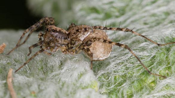 Thin-legged wolf spiders