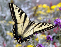 Tiger swallowtail by Galina Barskaya