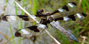 Male twelve-spotted skimmer, Photo: Amy Loves Yah