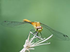 Female white-faced meadowhawk, Photo: Gary Yankech