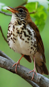 wood_thrush_attribute_noncommercial_noderivations_Billtacular_CC_BY-NC-ND_2_banner_300