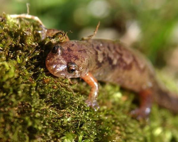 Dusky salamander photo by Scott Gillingwater.