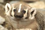 Mammals – Northern Species At Risk