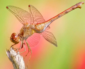 Female autumn meadowhawk, Photo: Harry Adams, www.pursuitofpixels.com