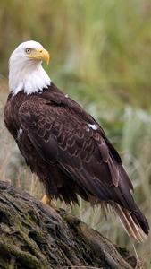 Bald Eagle_Missy_Mandel_v3