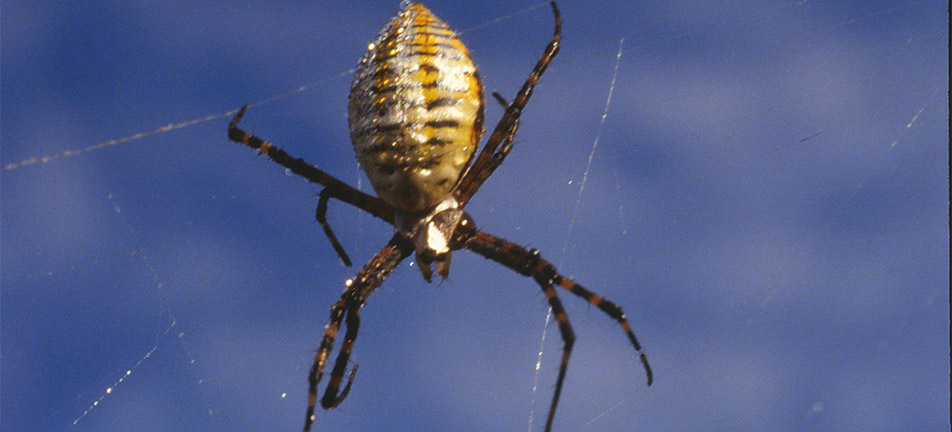 Banded garden spider hanging from a web with a blue sky in the background