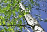 paper birch tree ©iStockphoto_com/nikamata