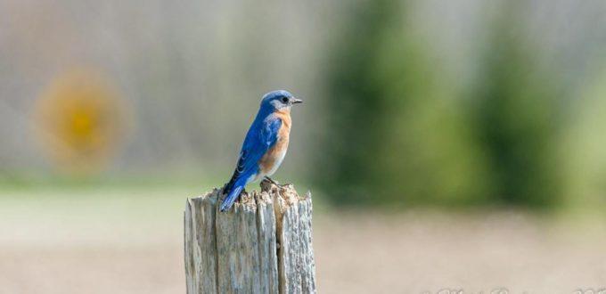 Bluebird at Sydenham River Nature Reserve