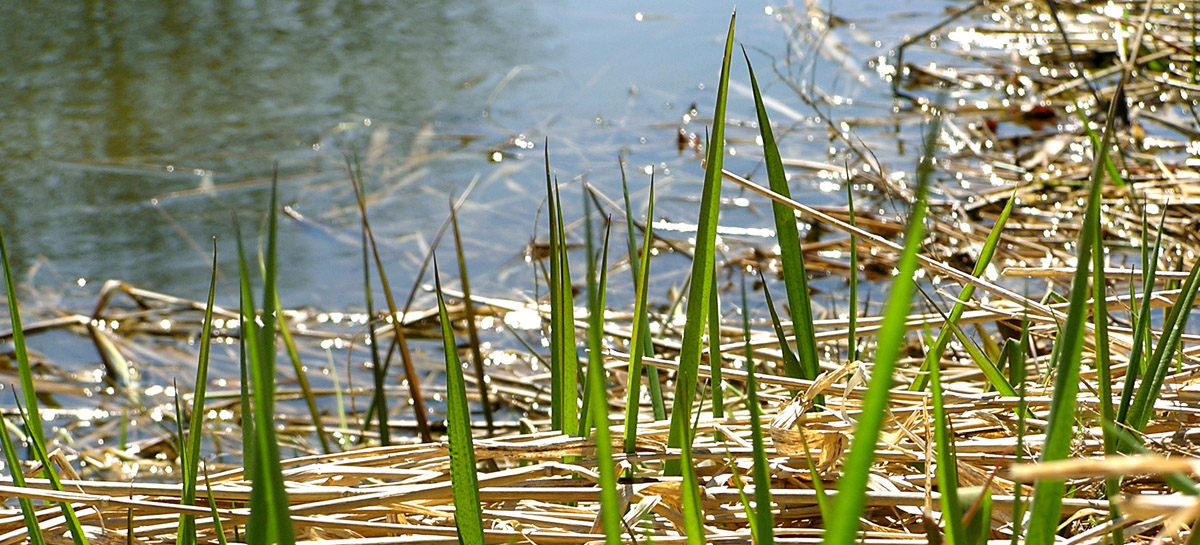 Cattail leaves on the lake