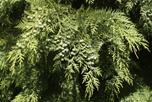 Cedar ©iStockphoto.com/davelogan