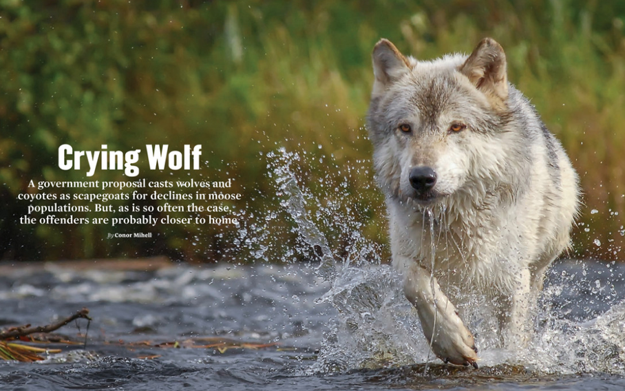 Crying Wolf, canine scapegoats, feature article