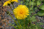 Dandelion_Flower_Closeup_Ontario_Nature_thumbnail